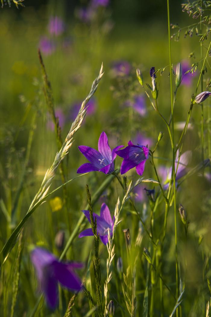Цветочно-букашечное, летнее Лето, Макро, Лига фотографов, Длиннопост, Фотография, Цветы
