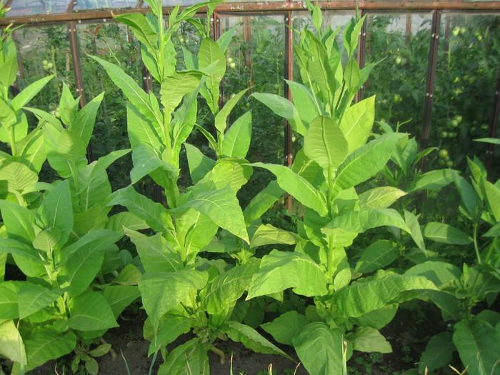 Выращиваем табак #6 Выращивание табака, Курение зло, Табак, Комнатные растения, Длиннопост