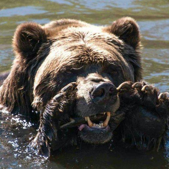 Мне кажется или медведь, что-то кричит?