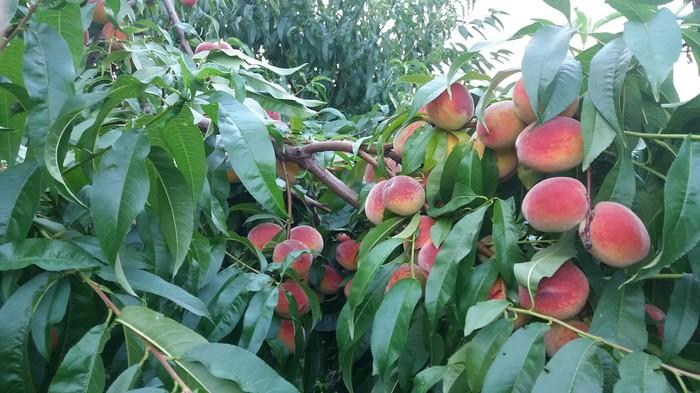 Персиковый урожай. Персик, Урожай, Лето, Длиннопост