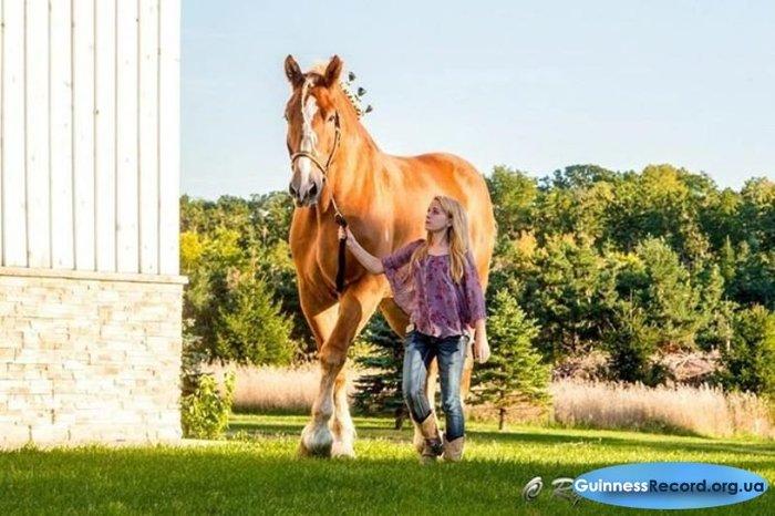 world's largest horse - 800×532