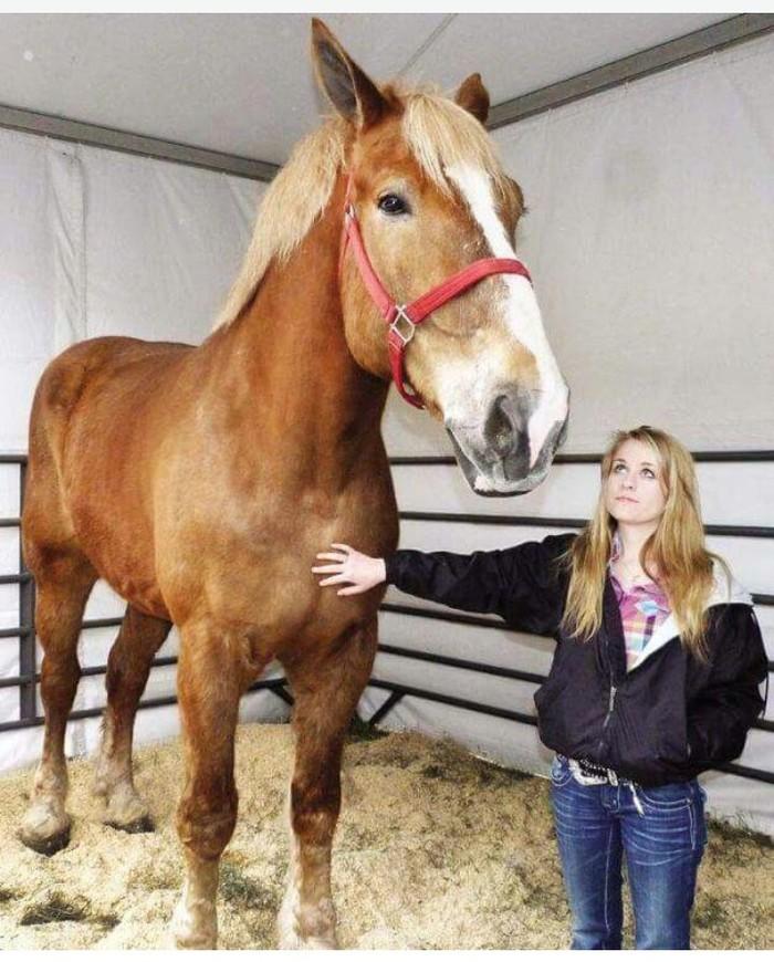 world's largest horse - 626×759