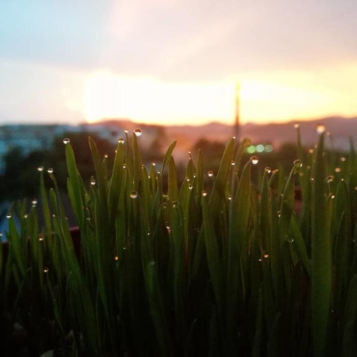 Пшеница в горшочках Пшеница, Закат, Фотография, Длиннопост