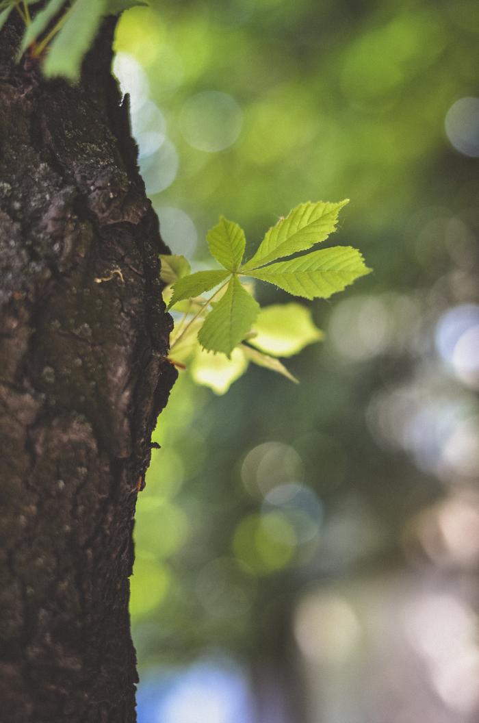 Каштан фотография, дерево