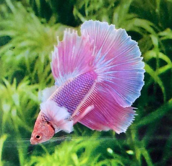 Классные петушки Аквариумные рыбки, Аквариумистика, Фотография, Петушки, Бойцовая рыбка, Рыбка петушок
