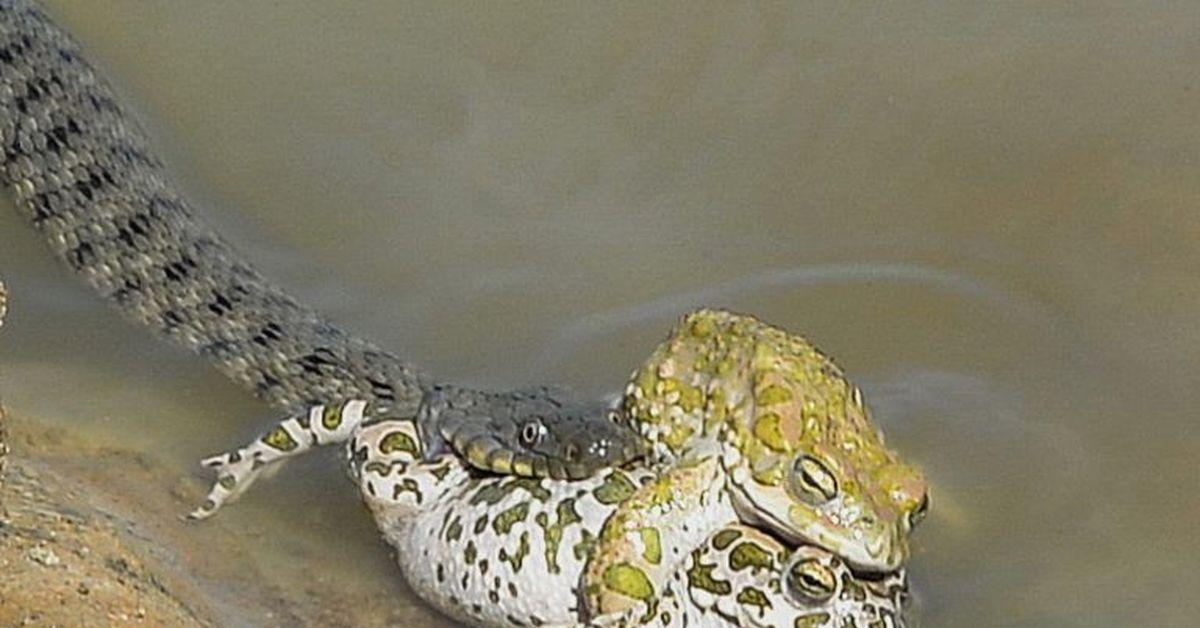 Картинка лягушки и змеи