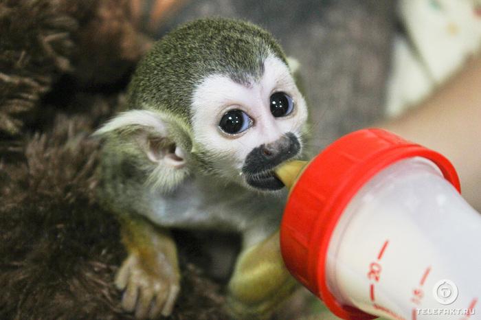 Челябинский зоопарк представил публике малыша саймири, вскармливать которого отказалась мать Зоопарк, Челябинск, Милота, Животные, Саймири, Чудо зверята, Челябинский зоопарк