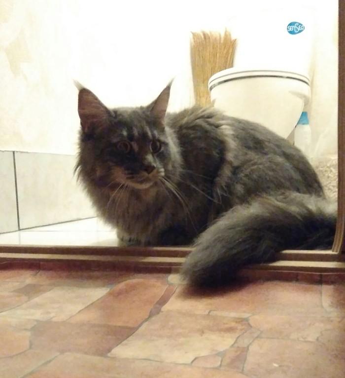 Пропала кошка Мытищи (МО) Потерялся кот, Мейн-Кун, Мытищи, Без рейтинга, Кот