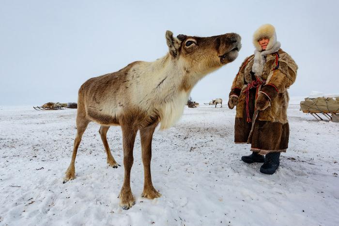 В гости к оленеводам Оленевод, Олень, Ненцы, Фотография, Длиннопост
