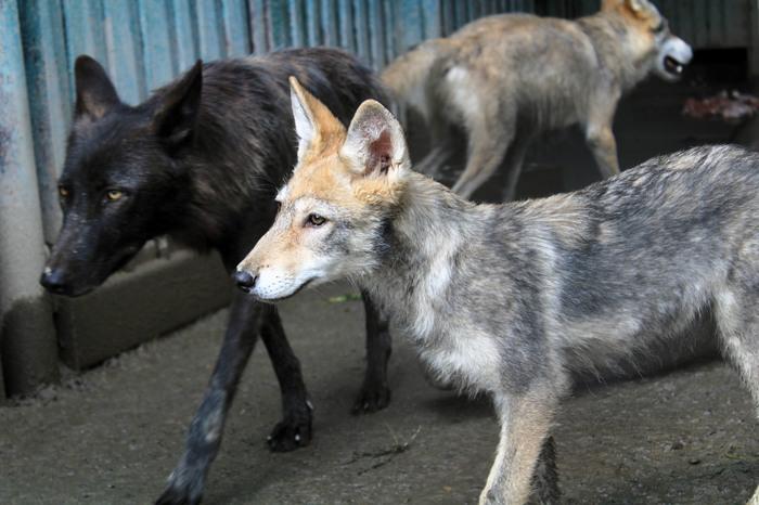 Дом для волков. Пензенский зоопарк, Волк, Канадский волк, Полярный волк, Вольер, Сила пикабу, Пенза, Дом для волков, Длиннопост