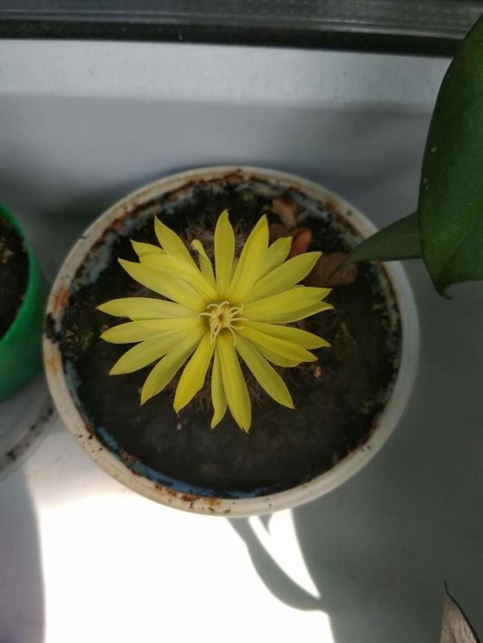 Кактус живёт, и даже зацвёл. Кактус, Цветущие кактусы, Продолжение, Цветок, Растения