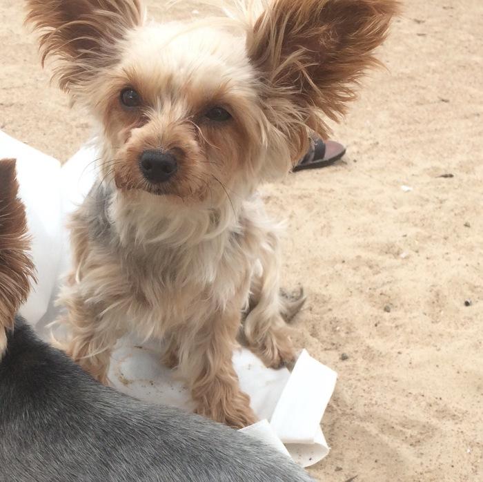 Пожалуйста помогите найти любимую собаку Пропала собака, Потеряшка, Собака, Йоркширский терьер, Помогите найти, Санкт-Петербург, Без рейтинга
