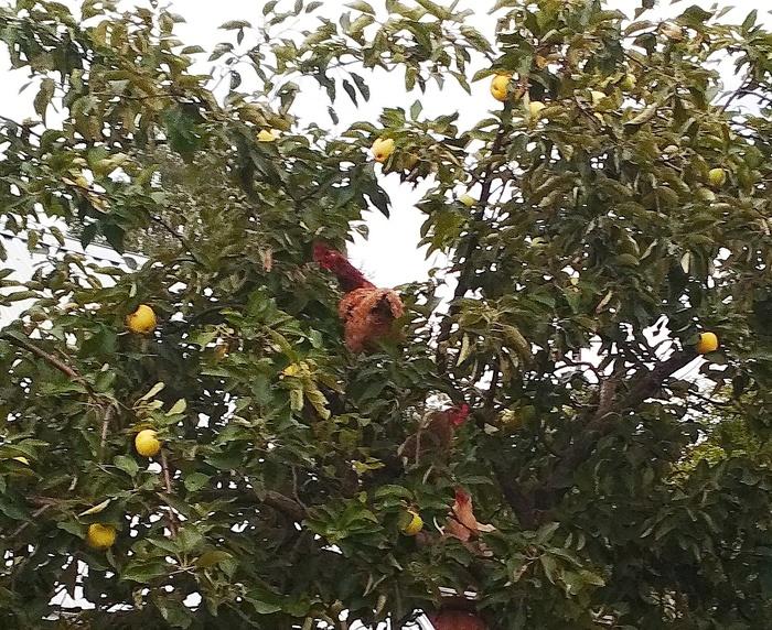 Курам некогда ждать, когда эти яблоки созреют и упадут...