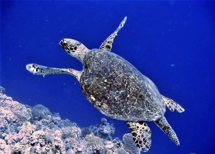 Это фотография черепахи Дайвинг, Фотография, Красное море, Египет, Доброе утро, Черепаха