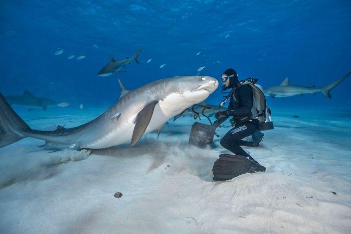 Это Тигровая акула лицом к лицу с дайвером