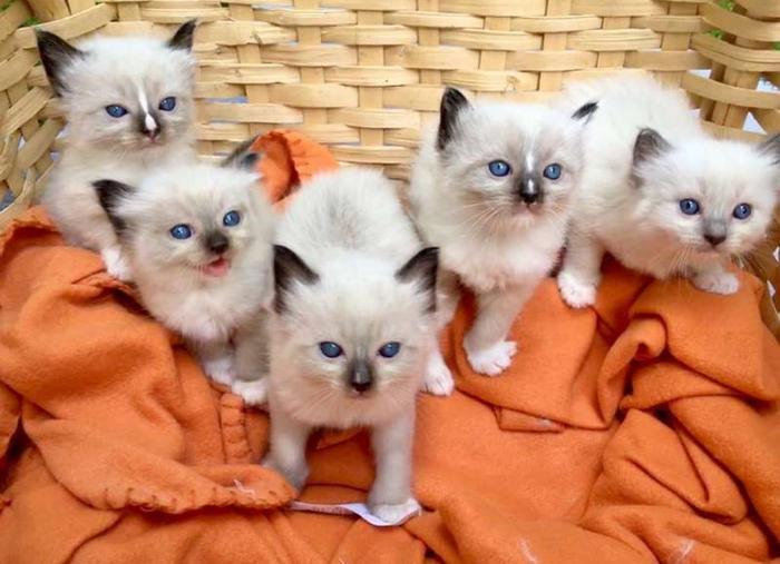 Маленькая кошачья семейка Кот, Рэгдолл, Ragdoll, Длиннопост, Котята, Милота