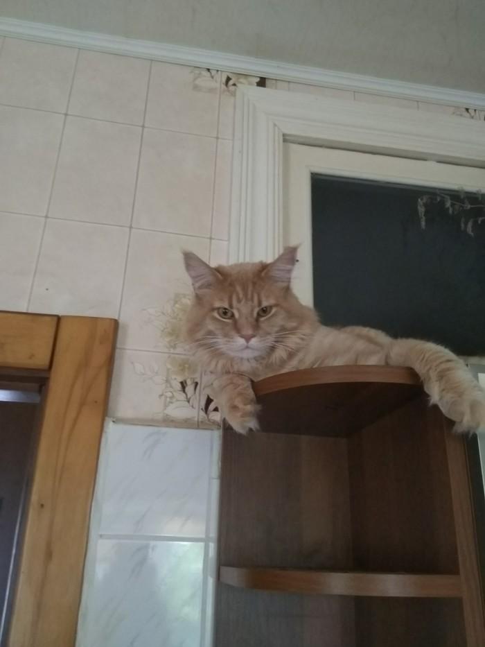 Что смотришь? Кот, Мейн-Кун