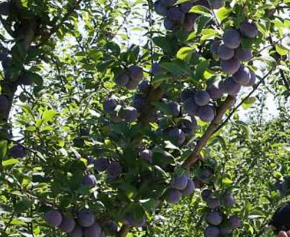 53 тонны черешни собрали в Геленджике в этом году Черешня, Новости