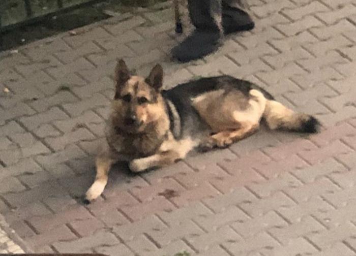 Помогите пжл в поиске хозяина Восточноевропейская овчарка, Собака, Найдена собака, Овчарка, Помогите найти, Мытищи, Бедный пес, Возьмите к себе, Длиннопост
