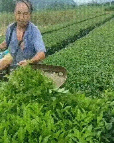 """""""Мы тщательно и бережно вручную отбираем для Вас самые лучшие чайные листья"""""""