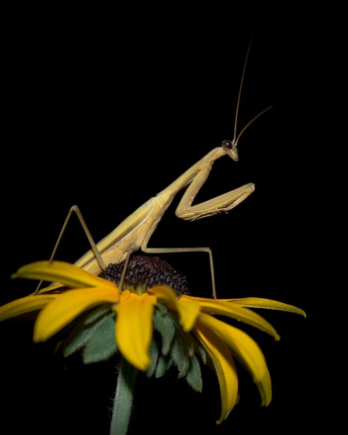 Молящийся в темноте Макро, Насекомые, Богомол, Цветы, Начинающий фотограф
