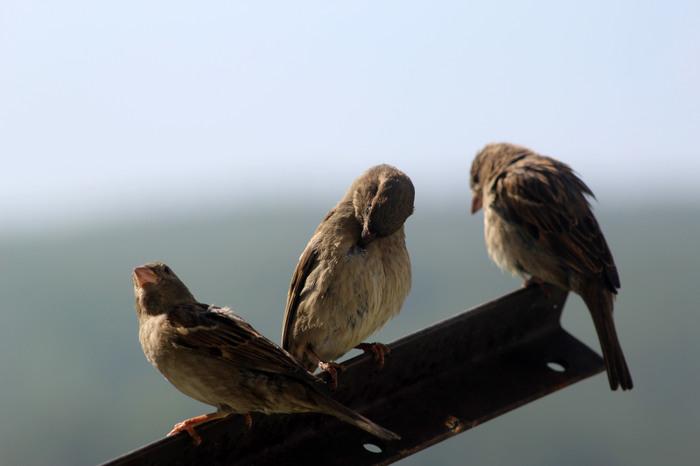Просто забавные воробьи Начинающий фотограф, Птицы, Воробей, Длиннопост