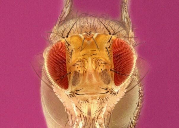 Самцов дрозофил заставили эякулировать без самки. Они захотели еще Эротика, Зоология, Энтомология, Дрозофилы, Биология, Наука, Физиология, Длиннопост