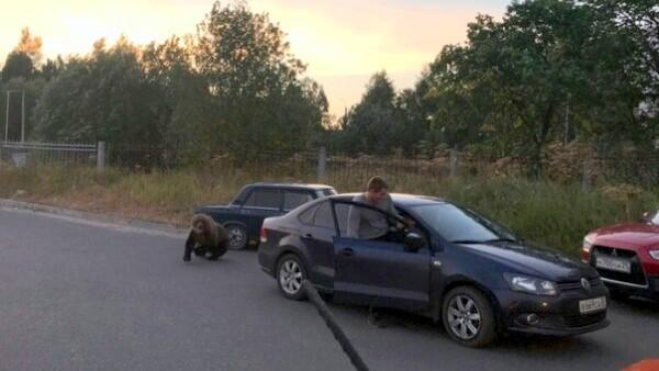 Когда только понял, что чемпионат закончился и можно выйти погулять Медведь, Новости, Архангельск