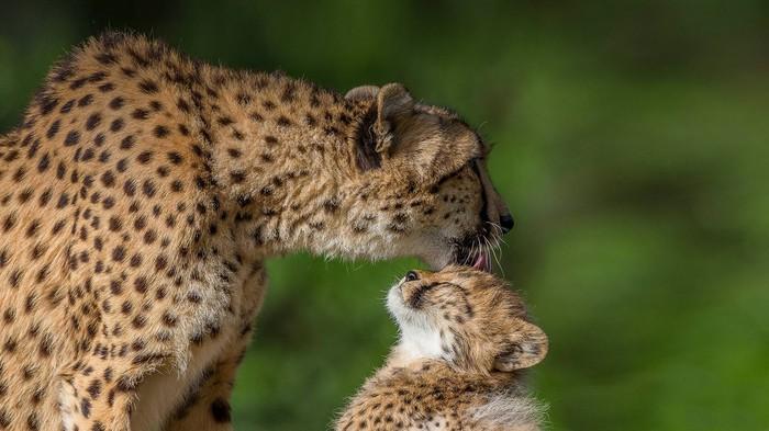 Мама-кошка вылизывает котенка :3