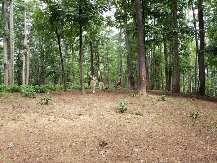 Утро в лесу! Природа, США, Олень, Длиннопост