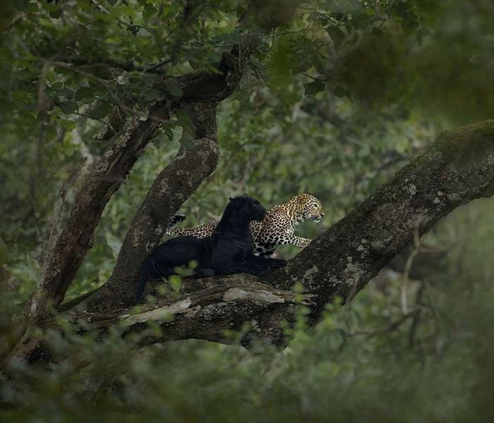 Черная пантера и леопард Животные, Черная пантера, Леопард, Длиннопост