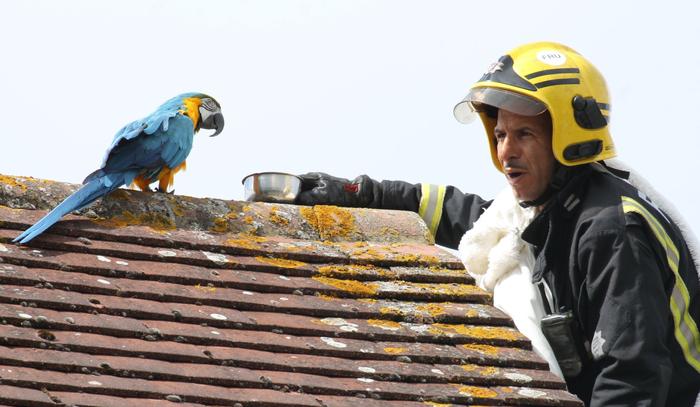 В Лондоне застрявший на крыше попугай обматерил спасателей и улетел. Попугай, Видео, Длиннопост, Ругань, Спасатель