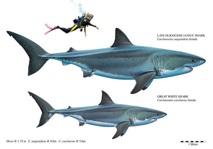 Зубы древнейшей гигантской акулы найдены на пляже в Австралии Палеонтология, Зубы, Акула, Находка, Видео, Длиннопост, Австралия, Доисторические животные