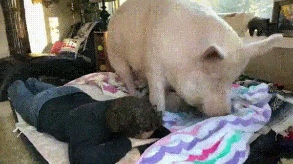 Маленькая свинка очень хочет лечь рядом со своим хозяином