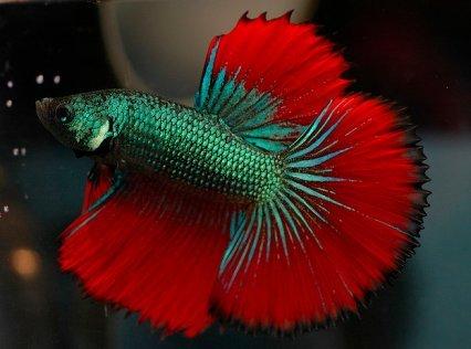 Изменение цвета рыбки Рыба, Метаморфозы, Изменение цвета, Петушки, Betta, Длиннопост