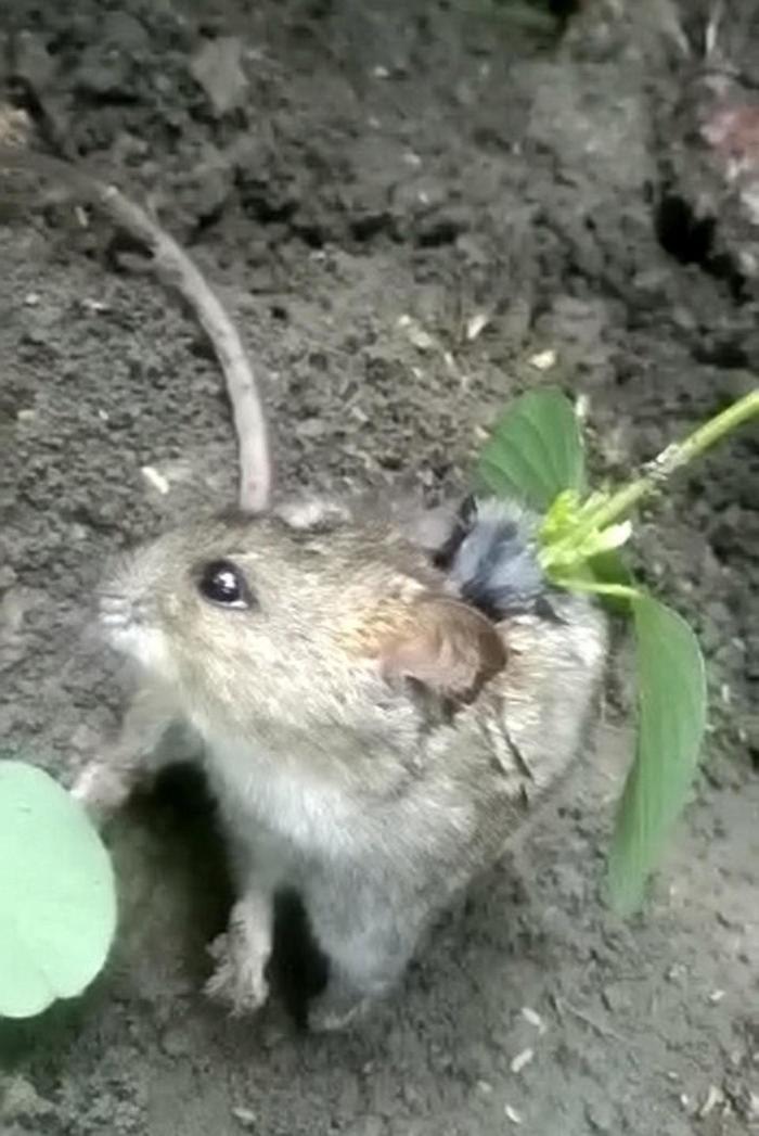 Растение проросло сквозь живую крысу Индия, Животные, Крыса, Жуть, Необычное, Видео, Длиннопост