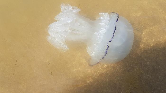 Медузы в Азовском море... Азовское море, Море, Медуза, Отдых, Что за зверь, Длиннопост