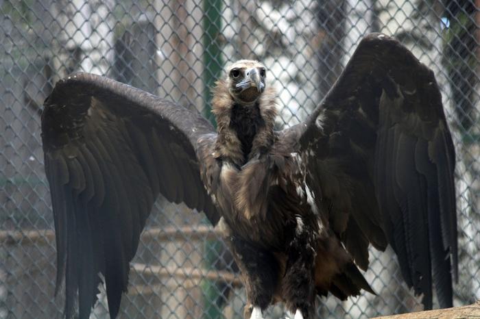 Некрофаги Пензенского зоопарка. Пензенский зоопарк, Чёрный гриф, Белоголовый сип, Профессиональный падальщик, Некрофаг, Длиннопост
