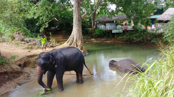 Слоны на Шри-Ланке купаются в реке возле дороги