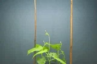 Как лоза находит опору для роста
