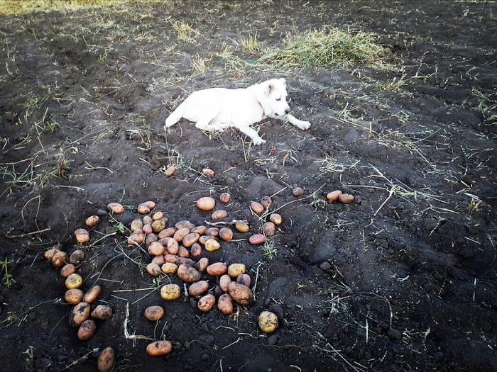 Сезон копания картохи открыт! Картофель, Алабай, Помощь, Огород, Фотография, Длиннопост
