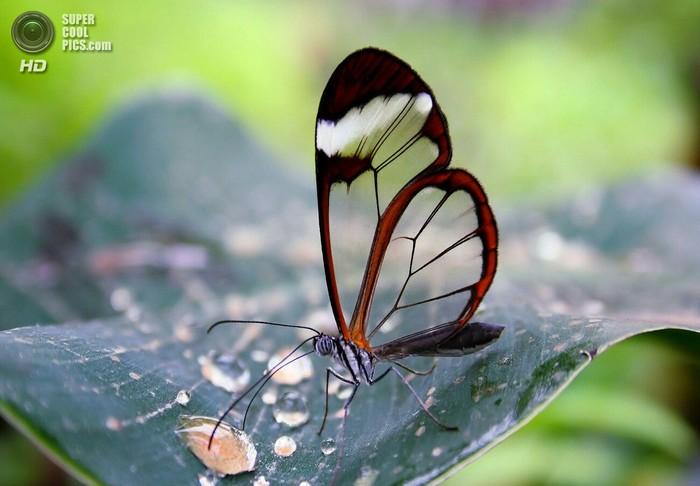 Стеклянная бабочка Бабочка, Природа, Красота, Удивительное, Чудеса природы, Насекомые, Длиннопост, Greta oto