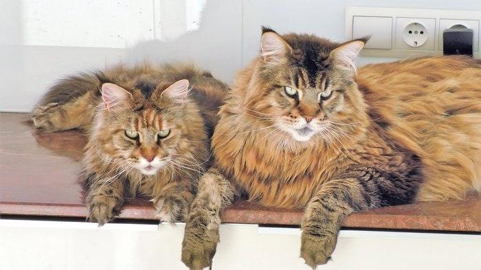 Котики правят миром Лебеди, Кот, Мейн-Кун, Люди и кошки