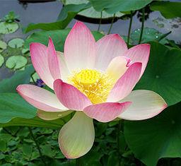 В ответ на пост о сорванных лотосах Лотос, Цветок лотоса, Зарастание водоёмов, Водоем, Рыбоводство, Длиннопост