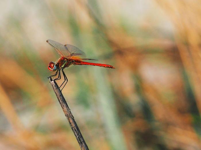 Красная стрекоза Стрекоза, Боке, Начинающий фотограф, Макро, Макросъемка