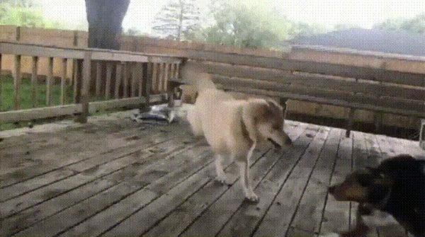 Счастливая двулапая собака играет со своей подругой