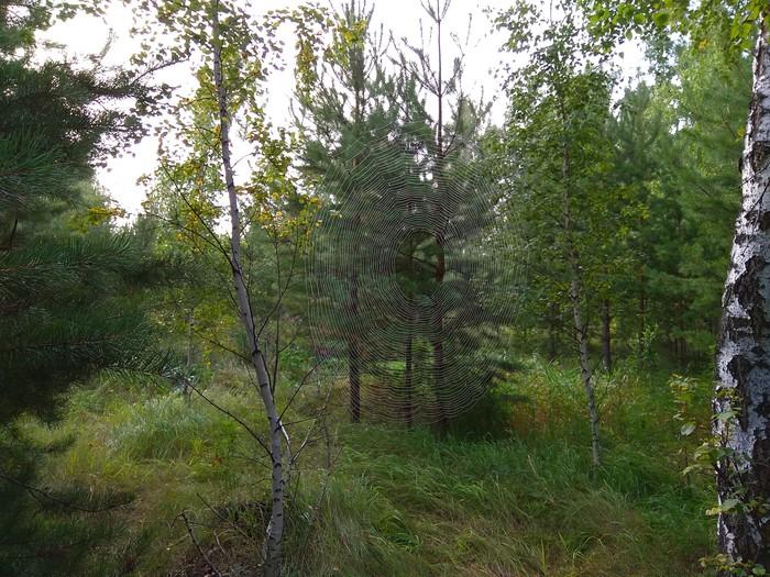 Утро в лесу Паутина, Омск, Лес