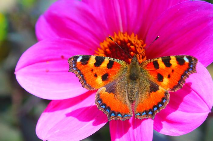 """Бабочки и цветы, просто как """"два треугольника - красный и синий"""". Фотография, Макросъемка, Canon, Цветы, Бабочка, Шмель, Длиннопост"""