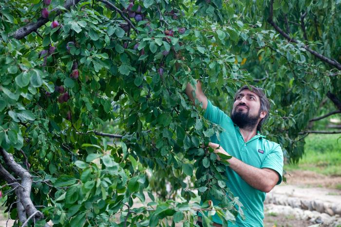 Как «гонконгский городовой» таскал персики в дагестанском селе Фруктовый сад, Бизнес, Бизнес-Идея, Кавказ, Дагестан, Длиннопост