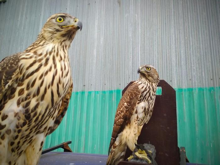 На страже порядка Хищные птицы, Работа, Соколиная охота, Природа